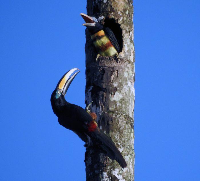 Amazon Birdwatching - Yasuni Tour